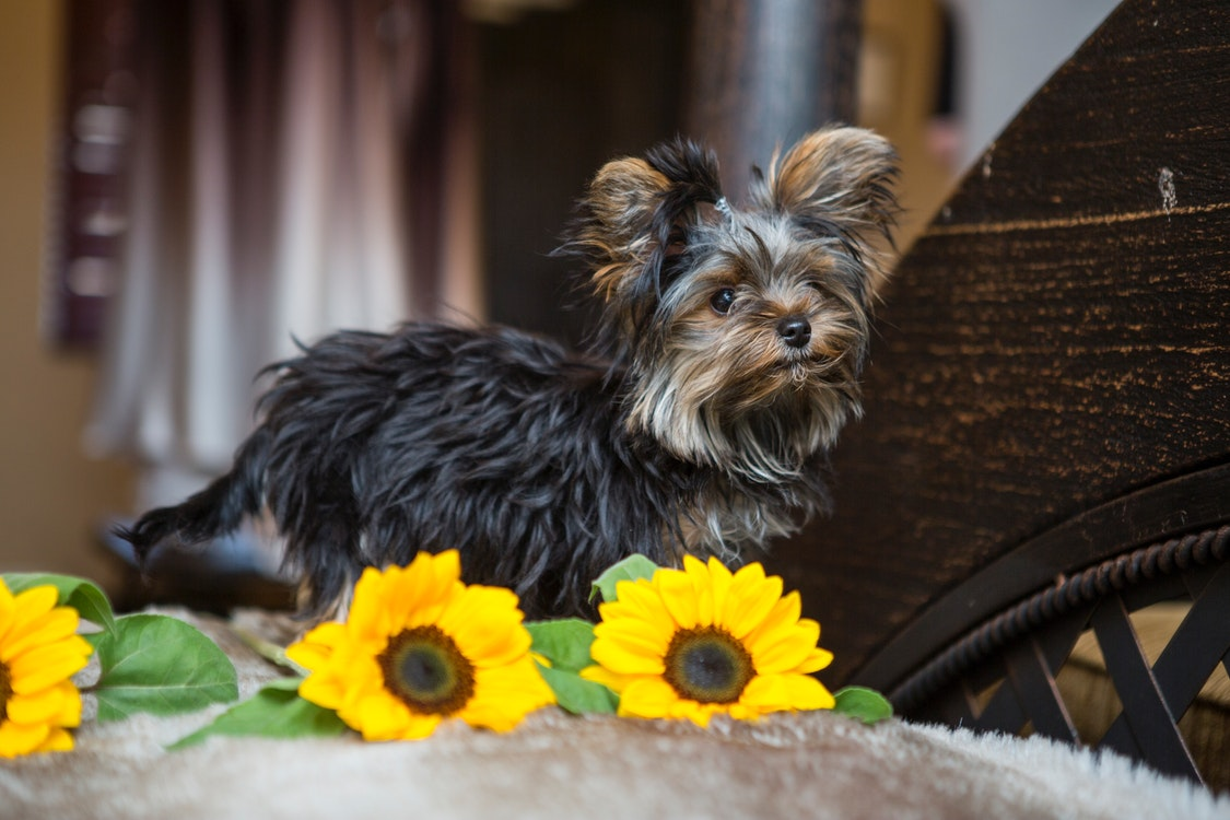 Surprising Facts About Yorkshire Terriers – An Easy Guide on the Lovely Breed