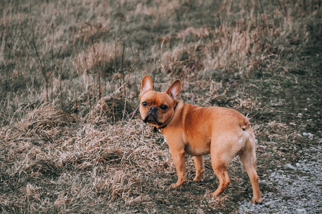 A Closer Look at Interesting Facts About French Bulldogs – Fun Facts to Remember